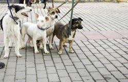 Dog walking street. Dog walking on urban street, happy animals Stock Photos