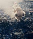 Bily na cinza. Dog walking sunset Stock Image