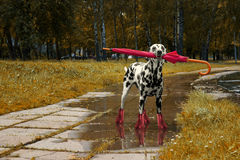 Dog walking with umbrella after autumn rain. The Dog walking with umbrella after autumn rain stock photos