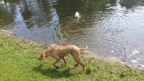 Dog walking vizsla maygarvizsla. Summer holland water Royalty Free Stock Photography