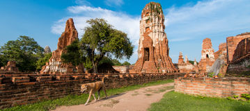 Dog walking in Wat Mahathat, Ayutthaya, Thailand. (ayutthaya known as old capital of Thailand stock photo