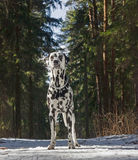 Dog is walking in a winter forest. The dog is walking in a winter forest Stock Image