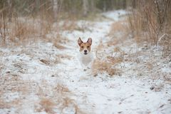 Dog walking at winter forest running by snow path Stock Image