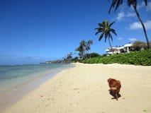 Dog walks along Coconut Tree lined Kahala Beach. Golden Retriever Dog walks along Coconut Tree lined Kahala Beach with sparse clouds on a beautiful day on Oahu Stock Images