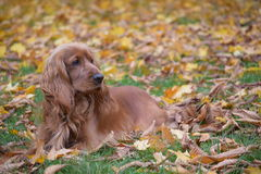Dog walks in autumn forest. Lying on the ground yellow leaves. The forest in autumn. On the green grass lay yellow leaves. Spaniel for a walk Royalty Free Stock Photos