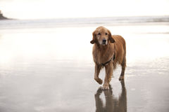 Dog walks on beach Royalty Free Stock Photo