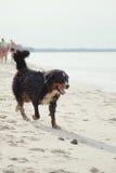 Dog walks on beach Stock Image