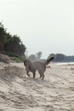 Dog walks on beach Royalty Free Stock Photos