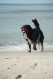 Dog walks on beach Stock Images