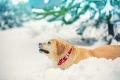 Dog walks through the deep snow royalty free stock photo