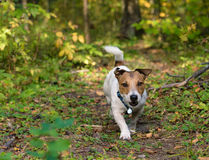 Dog walks at forest off-leash. Jack Russell Terrier walking alone Royalty Free Stock Photos