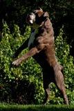 Dog walks like a zombie Royalty Free Stock Photos