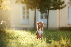 Dog walks on nature, greens, flowers Nova Scotia Duck Tolling Retriever Royalty Free Stock Image