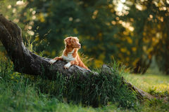 Dog walks on nature, greens, flowers Nova Scotia Duck Tolling Retriever Stock Photography