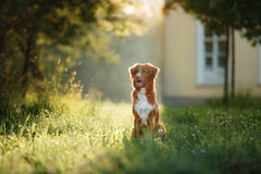 Dog walks on nature, greens, flowers Nova Scotia Duck Tolling Retriever Royalty Free Stock Photos