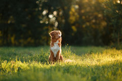 Dog walks on nature, greens, flowers Nova Scotia Duck Tolling Retriever Royalty Free Stock Photo