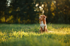 Dog walks on nature, greens, flowers Nova Scotia Duck Tolling Retriever Stock Images