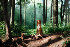 Dog walks on nature, greens, flowers Nova Scotia Duck Tolling Retriever Royalty Free Stock Photography