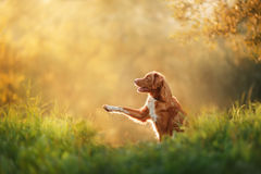 Dog walks on nature, greens, flowers Nova Scotia Duck Tolling Retriever Stock Image
