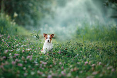 Dog walks on nature, greens, Jack Russell Terrier on the grass Royalty Free Stock Photo