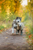 Dog walks in the park, autumn Stock Photo