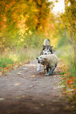 Dog walks in the park, autumn Stock Image