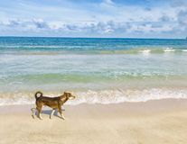 Dog walks through sandy beach. Sandy beaches around the island of Sri Lanka more eye-catching nature thing. These brown sandy beaches are not only for humans royalty free stock photo