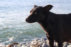 Dog walks by the sea. Portrait of a beautiful black dog on a stony seashore Royalty Free Stock Images