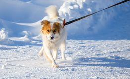 A dog walks in the snow in the winter Royalty Free Stock Photos