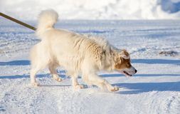 A dog walks in the snow in the winter Royalty Free Stock Image