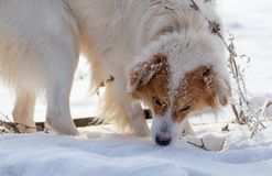 The dog walks on the snow in winter.  royalty free stock image