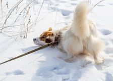 The dog walks on the snow in winter.  stock image