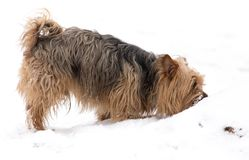 A dog walks on the snow in winter stock images