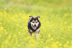 Dog walks on a summer flowering meadow yellow Royalty Free Stock Photography
