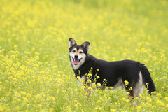 Dog walks on a summer flowering meadow yellow Stock Photos