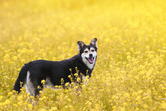 Dog walks on a summer flowering meadow yellow Royalty Free Stock Images