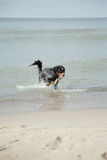 Dog walks in water Royalty Free Stock Photography