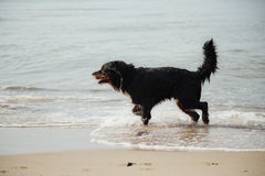 Dog walks in water Royalty Free Stock Images
