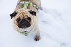 Dog walks in the winter. stock image
