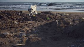 Dog wanders through beach garbage squats to piss at waves. Large white dog wanders through beach garbage and squats to piss against stormy waves under boundless stock video footage