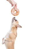 Dog wants donat Royalty Free Stock Photography