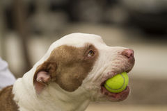 Dog Wants to Play Ball. Pit bull mix dog with a ball in his mouth, want to play catch Royalty Free Stock Photo