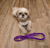 Dog wants to walk and wait near the leash. The dog wants to walk and wait near the leash stock photography