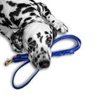 Dog wants to walk and wait near the leash. Dog wants to walk and wait near the blue leash stock image