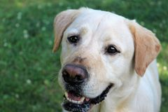 Dog wants treats. Recently adopted old golden lab looking for treats and love royalty free stock photography