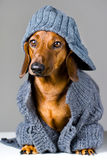 Dog in warm clothes Stock Image