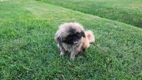 Dog was bitten by a flea. the little dog of the pecines is itching. fleas. dog is bitten by fleas.