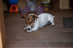 A small dog holds a bone in its paws and looks at the camera. The dog was given a bone and it chews it royalty free stock photos