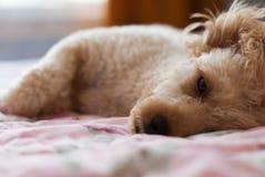 Dog was lying Stock Image