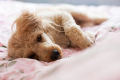 Dog was lying Royalty Free Stock Images